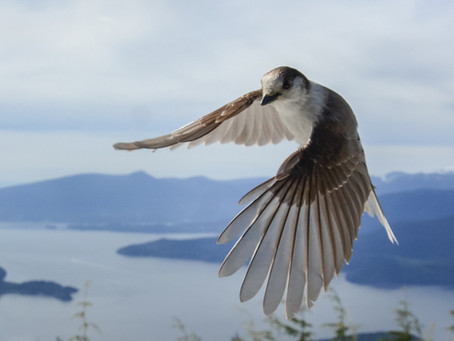 Taking off with Gray Jay Corrosion
