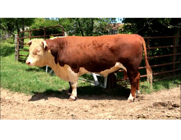 Registered Hereford bull - Dakota 222E