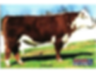 Registered Hereford bull - BR BENNETT N106 OF 5227 0178