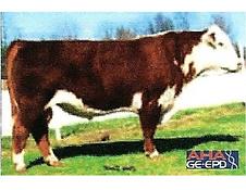 Registered Hereford bull - BR BENNETT N106 OF 5227 0178