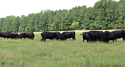 116 - Foundation Angus Cattle