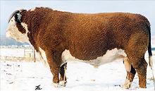 Registered Hereford bull - OXH MARK DOMINO 8020