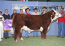 Registered Hereford bull - STAR TCF Shock & Awe 158W ET