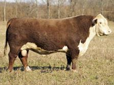 Registered Hereford bull - FELTONS OZZIE 492