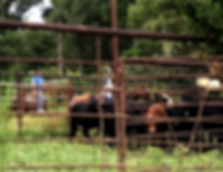 Commercial Cattle