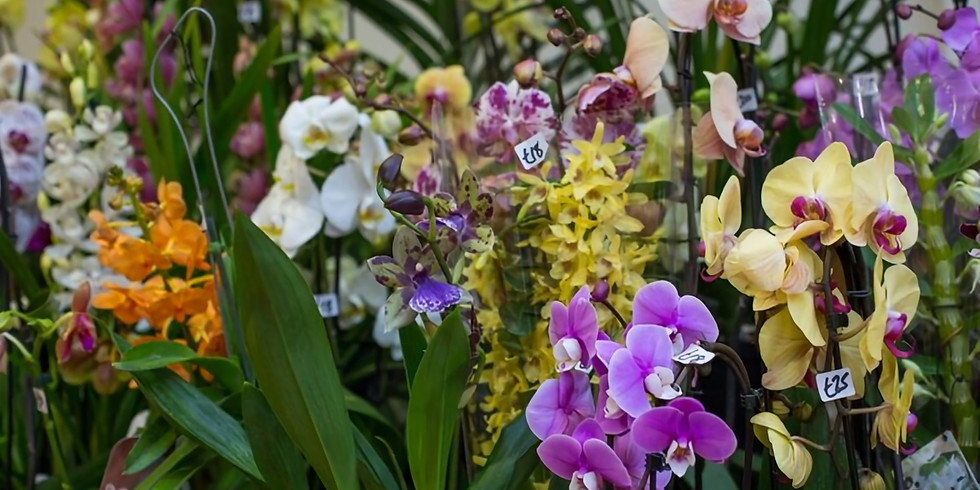 Grown at the RHS Spring Launch & Orchid Show