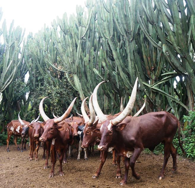Vaques Ankole