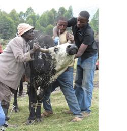 Desparasitació d'una vaca