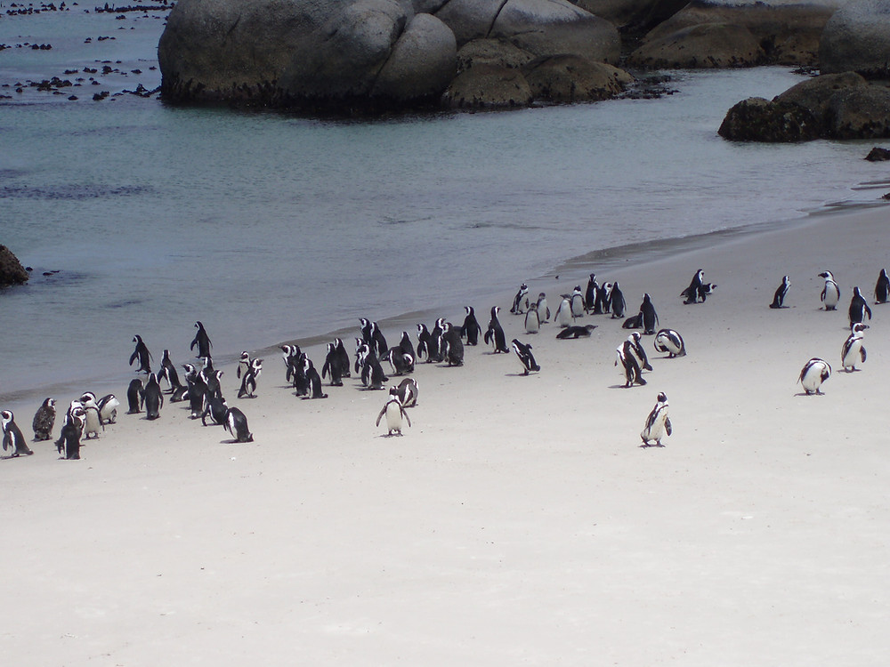 A small group of endangered penguins in South Africa, Cape Town. Boulders Beach is found just beyond Simon's Town and is the home to a colony of African Penguins.