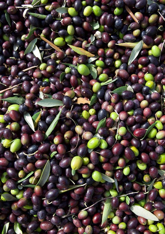 oliven_olivenernte_podere montecatini.jp