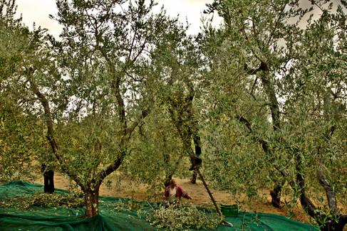 olivenenernte_olivastra_di_seggiano.jpg