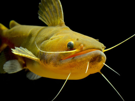 FRESHWATER FISH 4/9/19-4/12/19