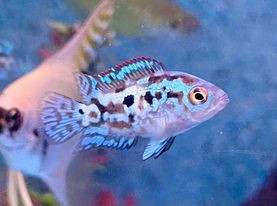 Freshwater Fish 2/11