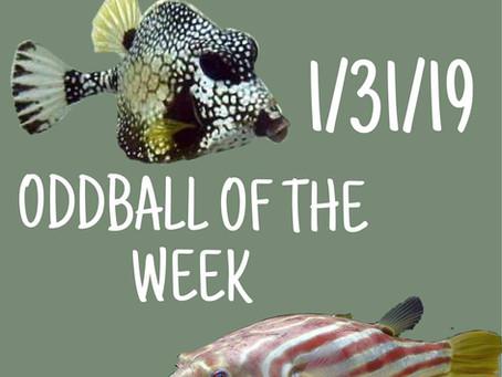 ODDBALL OF THE WEEK 1/31/19