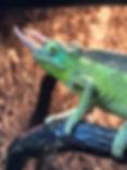 Male Jackson's Chameleon35695504_1826233007398694_44005320816926