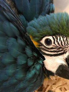 Baby Blue and Gold Macaw22490055_1580120915343239_75961101678125