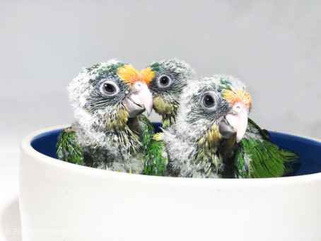 NEW ARRIVALS: PEACH FRONT CONURES 3/1/19