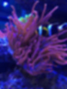 Rose Bubble Tip Anemone with Clown15178288_1261144973907503_96817773790792