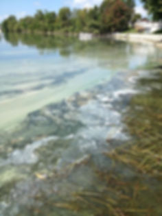 blue-green algae.jpg