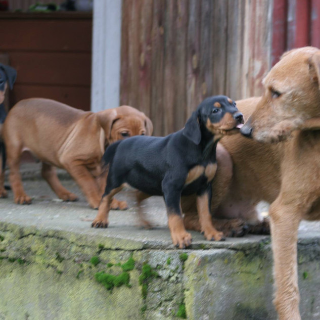 F-litter puppies with our male Simi