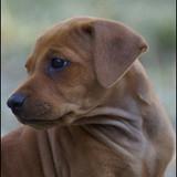 Eetsi as a puppy, 2011
