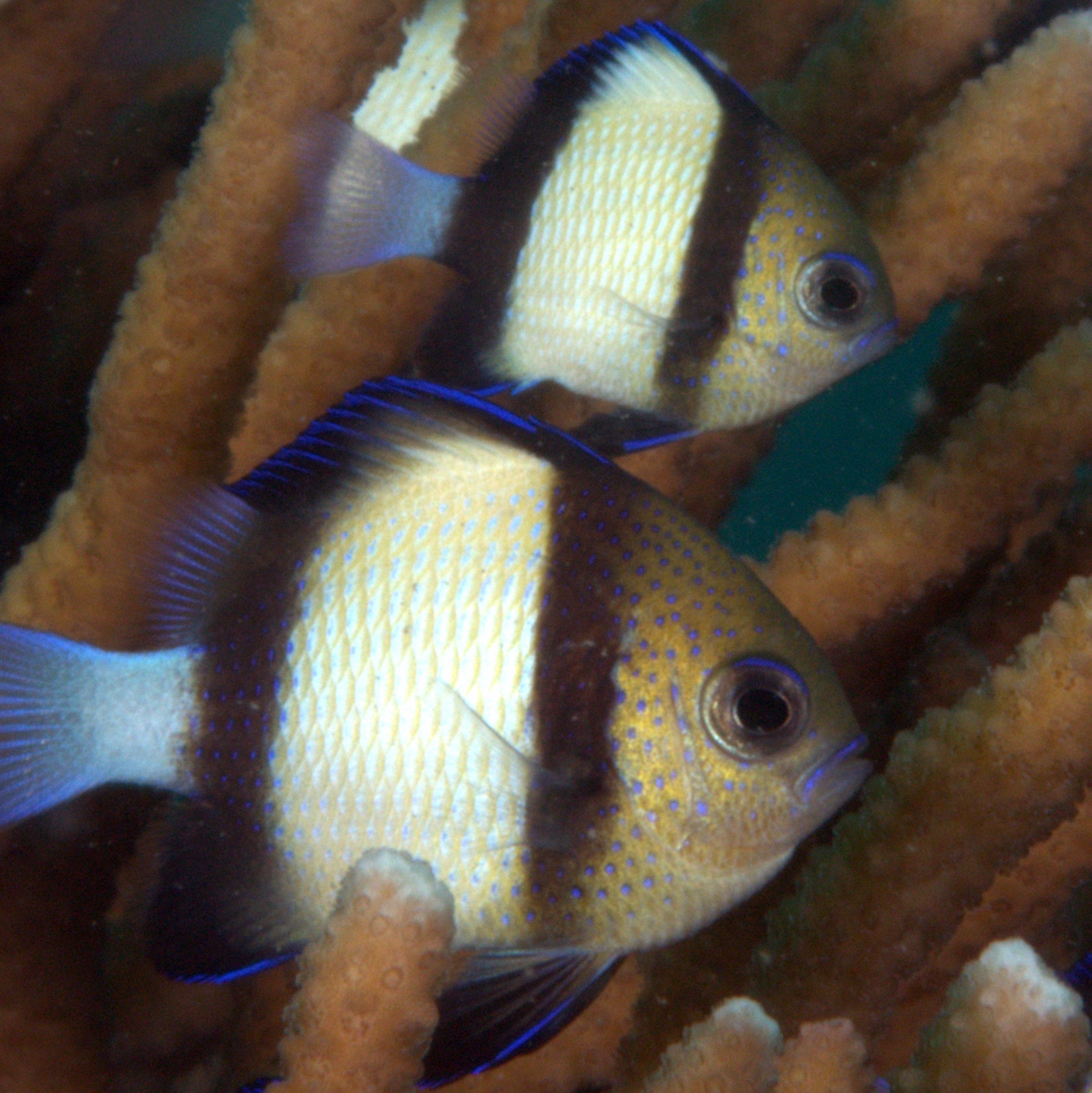 Damselfish - by Eric Stokman