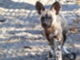 Wild dog safari