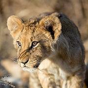 Lion-cub-Chase-Africa-Safaris.jpg