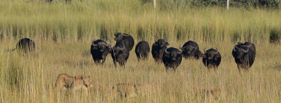 Lions Hunting while on walking safari