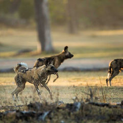 Wilddog-Chase-Africa-Safaris.jpg