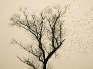 Starlings_06.jpg