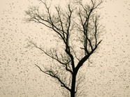 Starlings_03.jpg