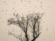 Starlings_05.jpg