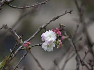 Ballet Blossoms.....