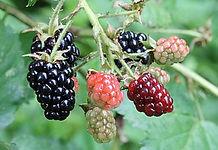 330px-Ripe,_ripening,_and_green_blackber