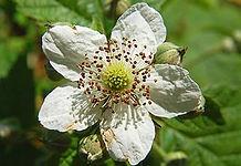 330px-Rubus_fruticosus_Luc_Viatour.jpg