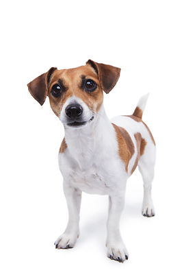 cute small dog Jack Russell terrier stan