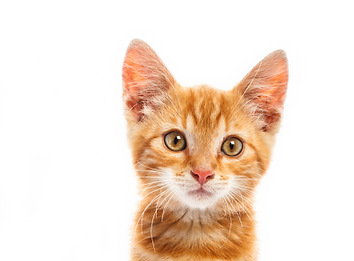 d8zyR0-cat-transparent-background 3.png