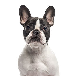 Close up of a French Bulldog looking at