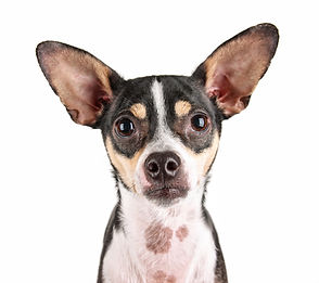 a cute rat terrier chihuahua mix isolate