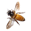 free-png-honey-bee-bee-png-image-500.png