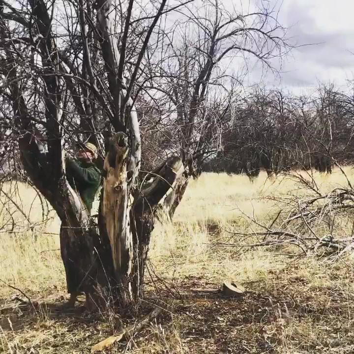 Orchard pruning & restoration