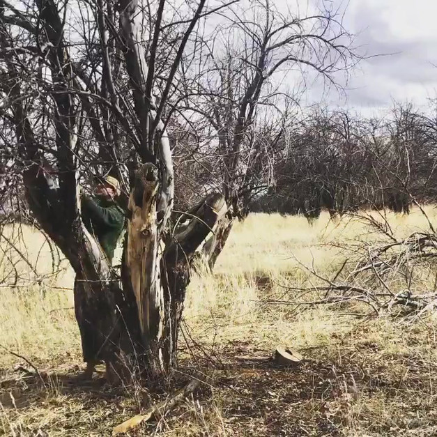 Orchard pruning & restoration