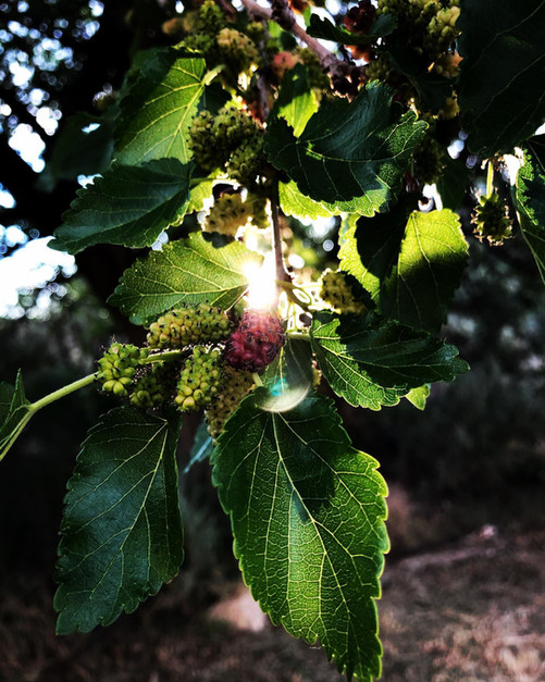 Everbearing Mulberry