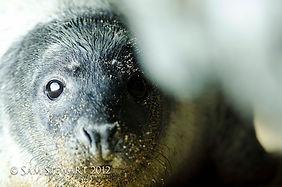 Sam Stewart Grey Seals Photography