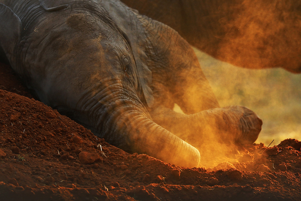 Baby Elephant, rolling in the dust