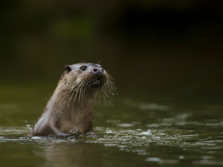 Camera Trapping Somerset Otters