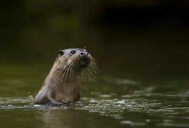Sam Stewart Otter Photography