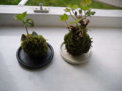 Kokedama with White&Black Container