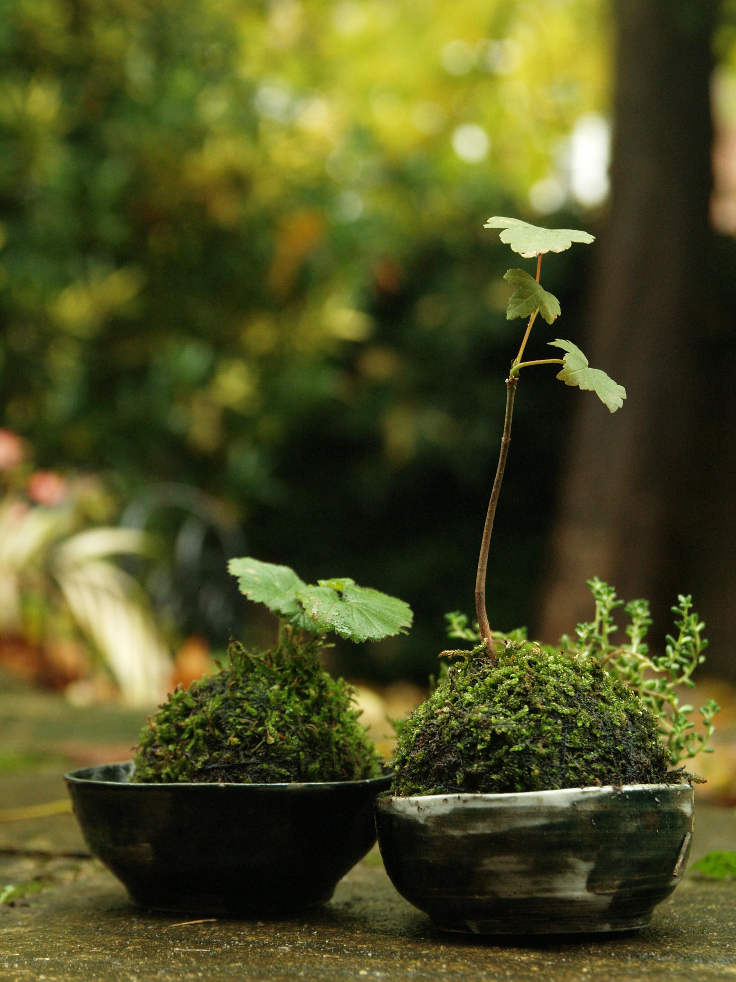 Kokedama with Green Ceramic Bowl